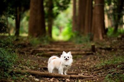 森の中にいるロングコートチワワ