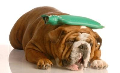 氷枕を頭に乗せて体調が悪そうな犬