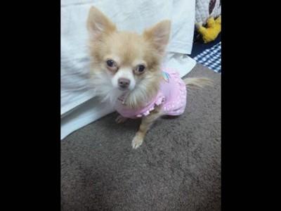 ピンクの服を着てこちらを見ているチワワ