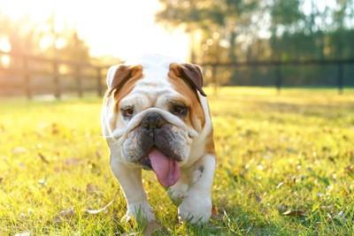 舌を出しながら歩く犬
