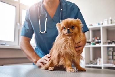 獣医師に診察されるポメラニアン