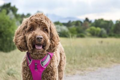 ピンクのハーネスをつけた犬