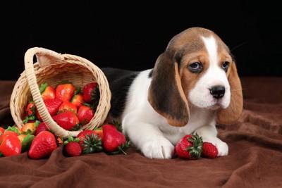 ボーっとした犬と、かごからあふれるいちご