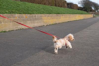 飼い主より前を歩く犬