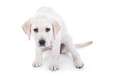 怯えている白い子犬