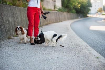 お散歩でうんち中の2匹のキャバリア