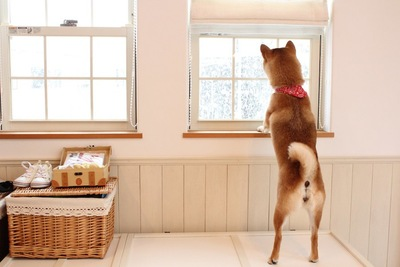 窓から外を眺める柴犬の立ち姿