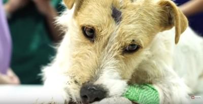 手術前に毛を刈られる犬
