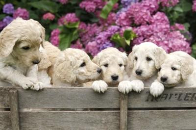 ラブラドゥードルの子犬達