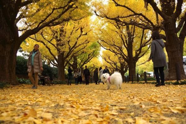 いちょう並木に犬