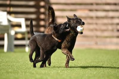 ボールを咥えて一緒に遊ぶ二匹の甲斐犬