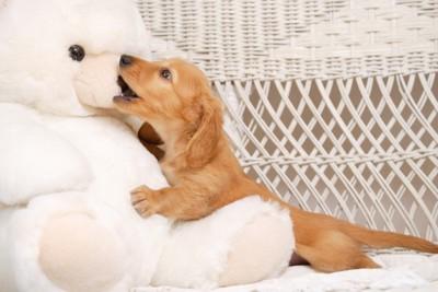 ぬいぐるみの鼻を噛む子犬
