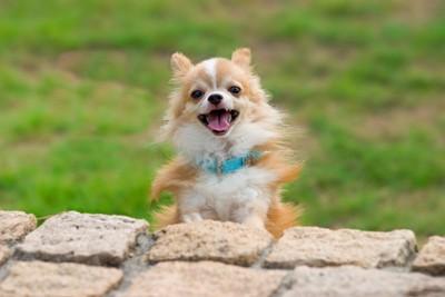 散歩中に笑顔でこちらをみるチワワ