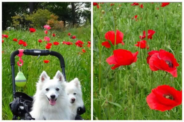 ポピーの花と犬