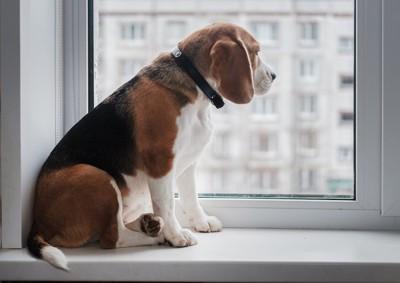 窓辺で飼い主の帰りを待つビーグル