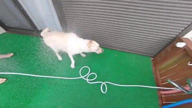 身体を振る犬