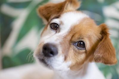 寂しそうな表情で見つめる犬