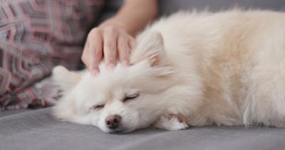 飼い主になでられて眠る白い犬