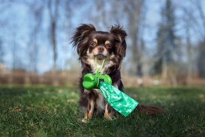 緑色の袋(グッズ)をくわえたチワワ