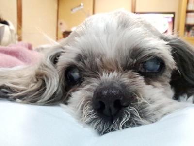 シーズー犬顔正面