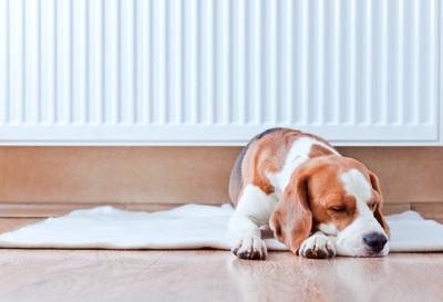 暖房器具の前に敷かれたカーペットの上で眠る犬