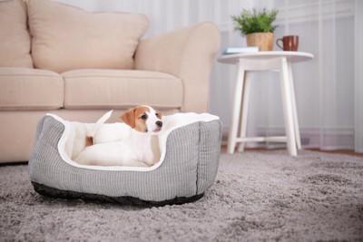 犬用ベッドに入るジャックラッセル