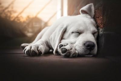 床で眠っているラブラドールレトリバーの子犬