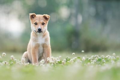 シロツメクサと子犬
