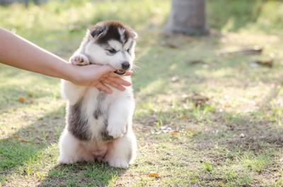 ヒトの手を甘噛みするハスキーの子犬
