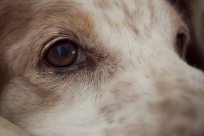 元気がない犬の目