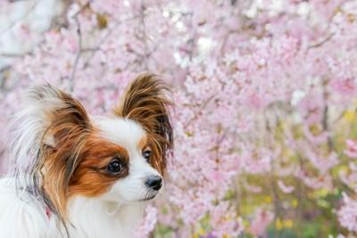 桜の木とパピヨン