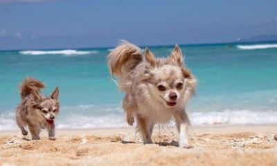 砂浜を駆ける二頭のチワワ