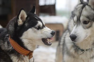 同居犬に威嚇するハスキー