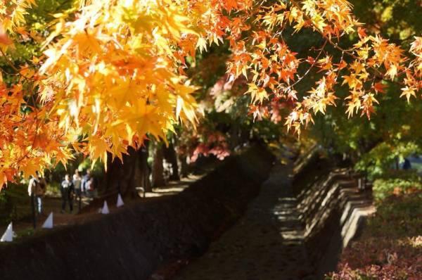 紅葉のもみじの葉