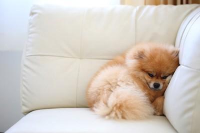 ソファーの隅で寝るポメラニアン