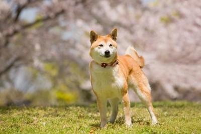 桜の花を背景に立つ犬