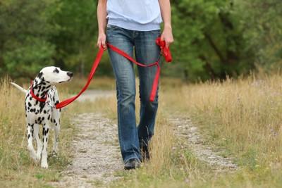 散歩するダルメシアン