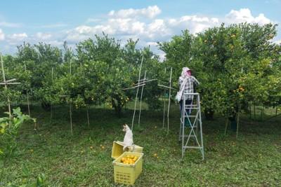 オレンジ畑で働く人と犬