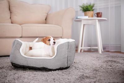 犬用ベッドの中にいるジャックラッセル