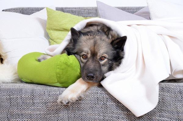ソファーでブランケットをかけて伏せている犬