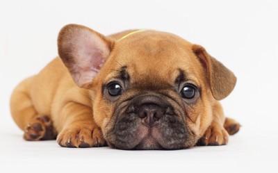 こちらを見ている子犬