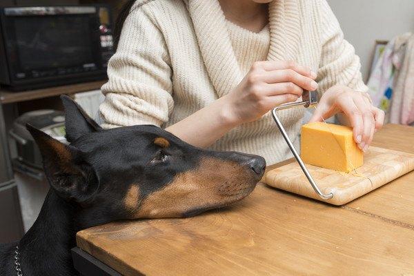 切っているチーズを見る犬