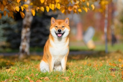 芝生に座る秋田犬