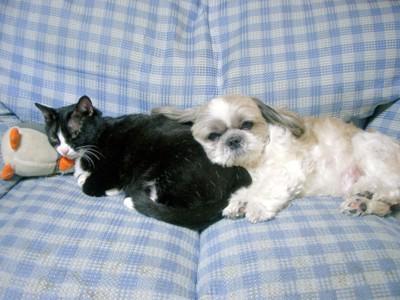 ソファーの上のシーズーとハチワレ猫