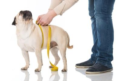 メジャーで胴回りを測られている犬