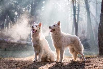 二頭の白い犬
