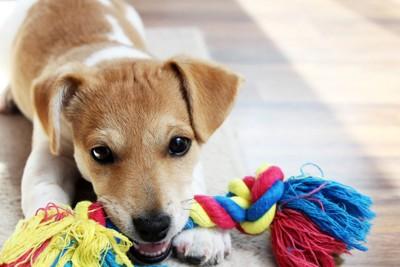 ロープのオモチャを噛む犬