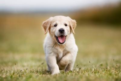 走るゴールデンレトリバーの子犬