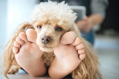 人の足に顔を乗せる犬