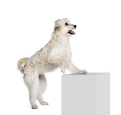 台に足をかける白い犬